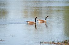 Free Canadian Geese Royalty Free Stock Photo - 5320035