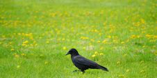 Free Walking Crow Royalty Free Stock Photography - 5320047