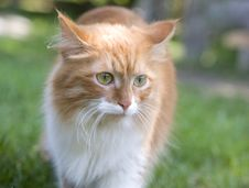 Free Cat Take A Walk On The Grass Close Up Stock Photography - 5320152