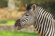 Free Zebra Royalty Free Stock Images - 5320249