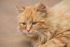 Free Orange Cat Royalty Free Stock Photos - 5320298