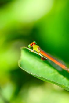 Free Damselfly Stock Images - 5320324