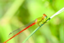 Free Damselfly Stock Images - 5320354
