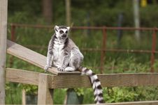 Free Ring Tailed Lemur Royalty Free Stock Photography - 5320367