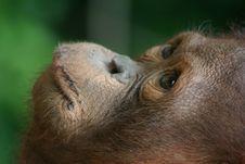 Free Orangutan Royalty Free Stock Image - 5320426