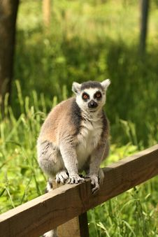 Free Ring Tailed Lemur Royalty Free Stock Photos - 5320428