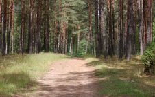 Road In The Pine Forest Royalty Free Stock Images