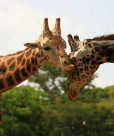 Free Giraffe Love Stock Image - 5320431