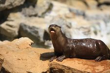 Free Otter Stock Images - 5320434