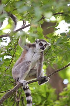 Free Ring Tailed Lemur Stock Image - 5320521