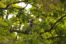 Free Ring Tailed Lemur Stock Images - 5320574
