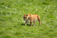 Free Lioness Stock Photography - 5320622