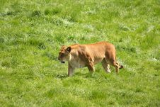 Free Lioness Stock Photography - 5320662