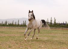 Free Arab Horse Royalty Free Stock Images - 5320799