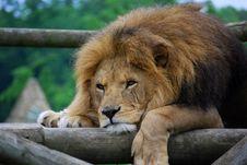 Free Lazy Lion Stock Photo - 5321630