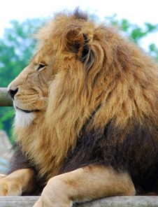 Free Lazy Lion Stock Photos - 5321733