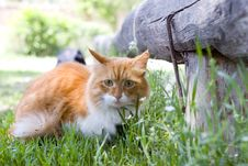 Free Cat Take A Walk On The Grass Close Up Royalty Free Stock Photo - 5321875