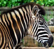 Free Zebra Royalty Free Stock Photo - 5321905