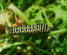 Caterpillar-Soon To Be A Butterfly Stock Photography