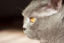 Free British Blue Cat Stock Photography - 5322282