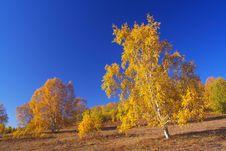 Free Golden Silver Birch Stock Photo - 5322330