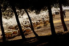 Free Sheep Royalty Free Stock Image - 5322426