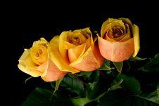 Free Three Orange Roses On Black Background Royalty Free Stock Photos - 5322448