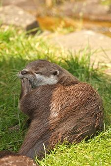 Free Otter Royalty Free Stock Photo - 5322855