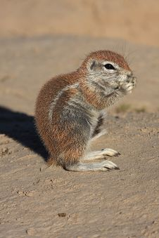 Free Baby Squirrel Royalty Free Stock Photo - 5323285