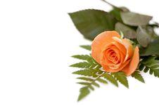 Free Rose Royalty Free Stock Image - 5323476