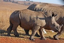 Free Rhino And Motherwalking In The Field Stock Images - 5323624