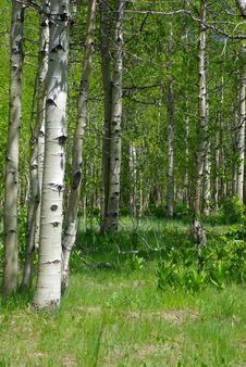 Free Aspen Trees In Spring Royalty Free Stock Photography - 5323727