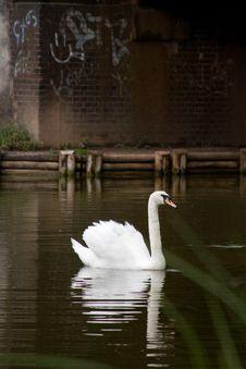 Free White Swan Stock Image - 5323911