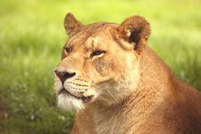 Free Lioness Stock Image - 5324261