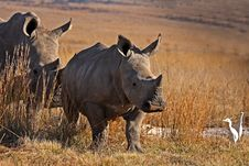 Free Rhino And Mother Walking In The Field Stock Image - 5325221