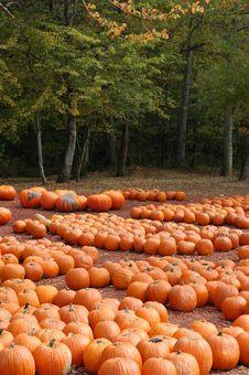 Free Pumpkin Farm Stock Photo - 5325340