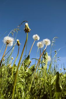 Free Dandelions In Clear Weather Sky Royalty Free Stock Images - 5325379