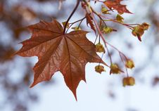 Free Young Maple Leaf On A Background Of The Sky Stock Photography - 5325422