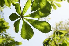 Free Young Leaves Of A Chestnut Royalty Free Stock Photos - 5325518
