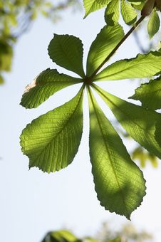 Free Young Leaves Of A Chestnut Stock Image - 5325521