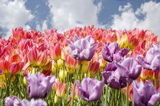 Free Tulip Royalty Free Stock Photos - 5326018