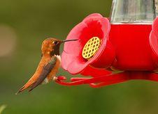 Free Brown Hummingbird Stock Images - 5326704