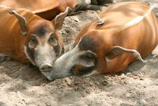 Free Red River Hogs Stock Photo - 5326990