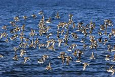 Free Sandpipers Royalty Free Stock Photography - 5327377
