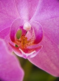 Free Pink Orchid Close-Up Stock Images - 5327554