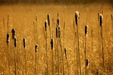 Free Golden Field Royalty Free Stock Image - 5328226