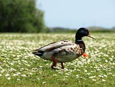 Free Duck At Green Meadow Royalty Free Stock Images - 5329499