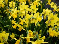 Free Yellow Narcissus Daffodils Stock Images - 53215394