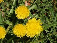 Beautiful Dandelion Taraxacum Flower Stock Image