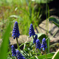 Free Spring Flowers Muscari Mill Blue Bunches Of Grapes Close-up. Stock Photography - 53225072